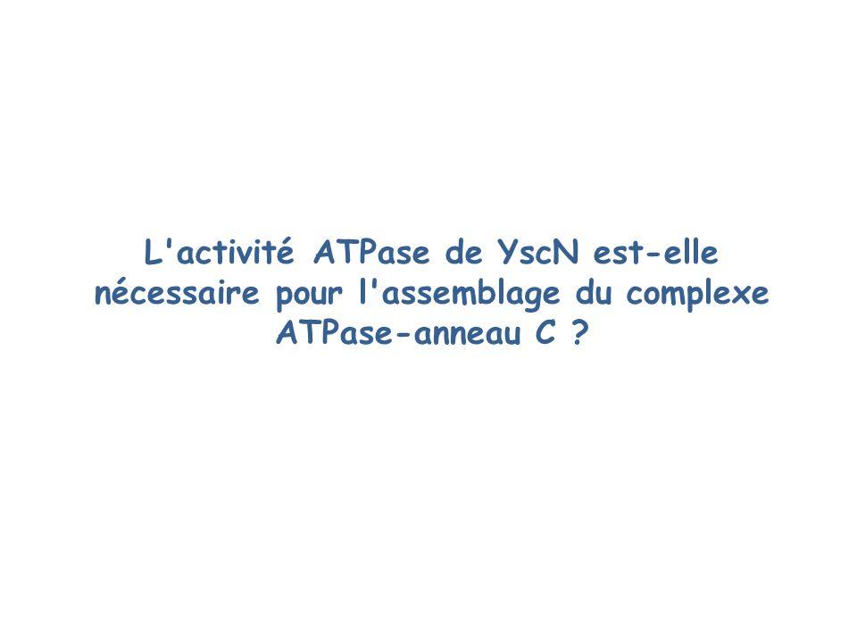 L activité ATPase de YscN est-elle nécessaire pour l assemblage du complexe ATPase-anneau C ?
