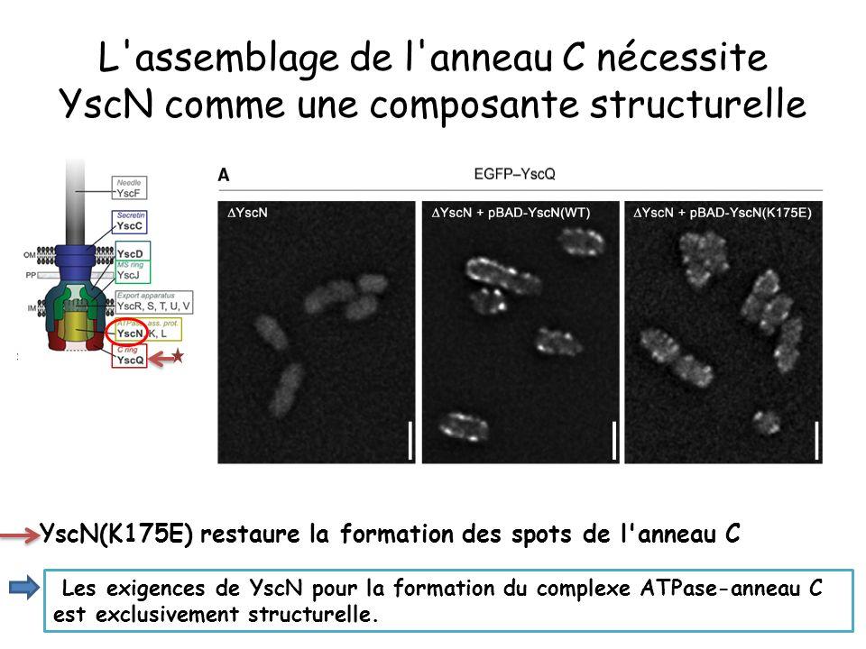 L assemblage de l anneau C nécessite YscN comme une composante structurelle YscN(K175E) restaure la formation des spots de l anneau C Les exigences de YscN pour la formation du complexe ATPase-anneau C est exclusivement structurelle.
