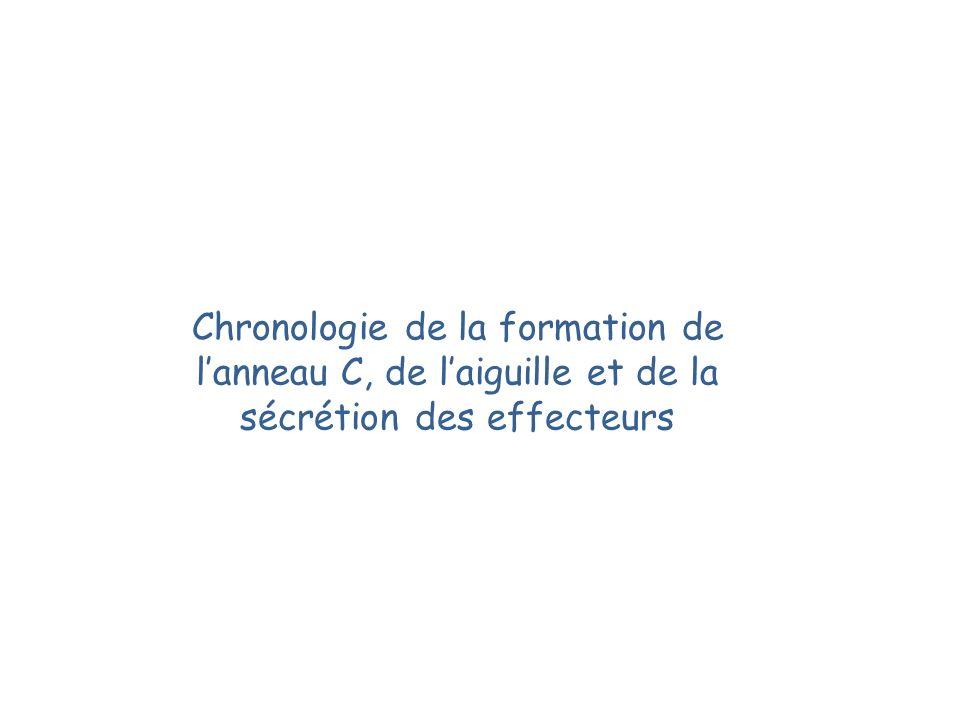Chronologie de la formation de lanneau C, de laiguille et de la sécrétion des effecteurs