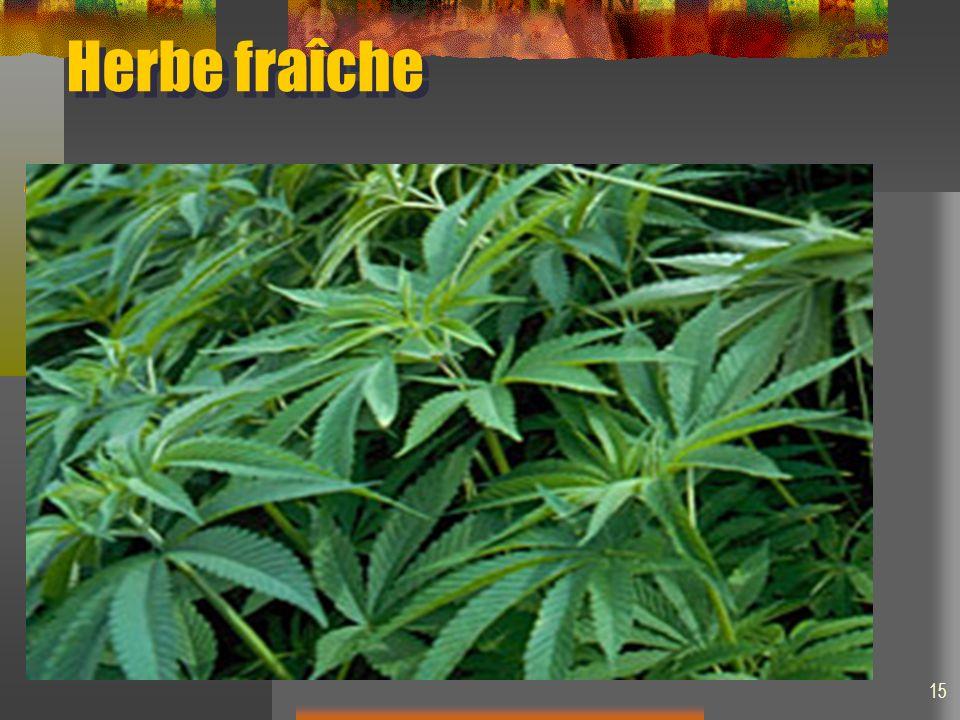 Herbe fraîche 15