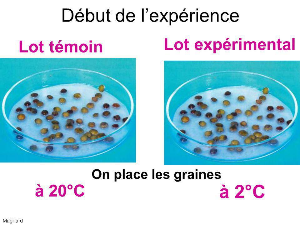 Début de lexpérience On place les graines à 2°C Lot témoin Lot expérimental à 20°C Magnard