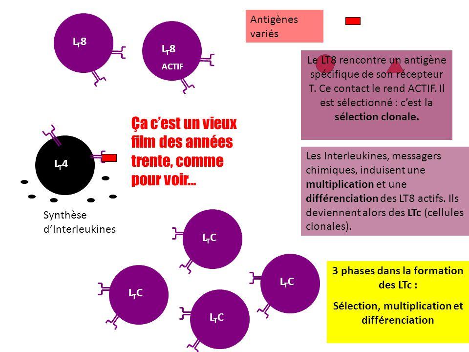 LT8LT8 Antigènes variés Le LT8 rencontre un antigène spécifique de son récepteur T. Ce contact le rend ACTIF. Il est sélectionné : cest la sélection c
