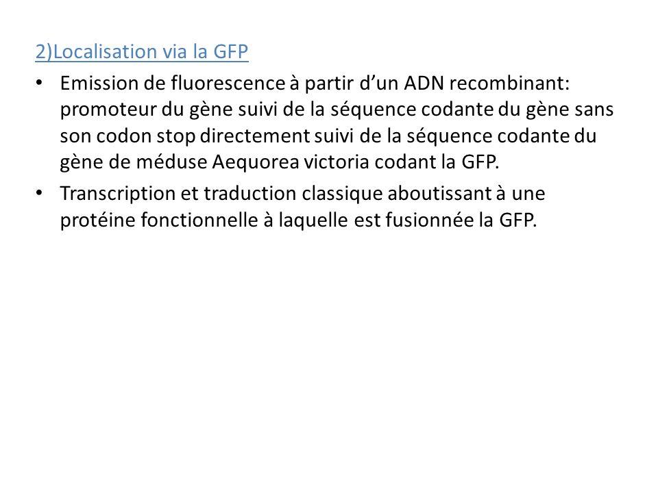 2)Localisation via la GFP Emission de fluorescence à partir dun ADN recombinant: promoteur du gène suivi de la séquence codante du gène sans son codon stop directement suivi de la séquence codante du gène de méduse Aequorea victoria codant la GFP.
