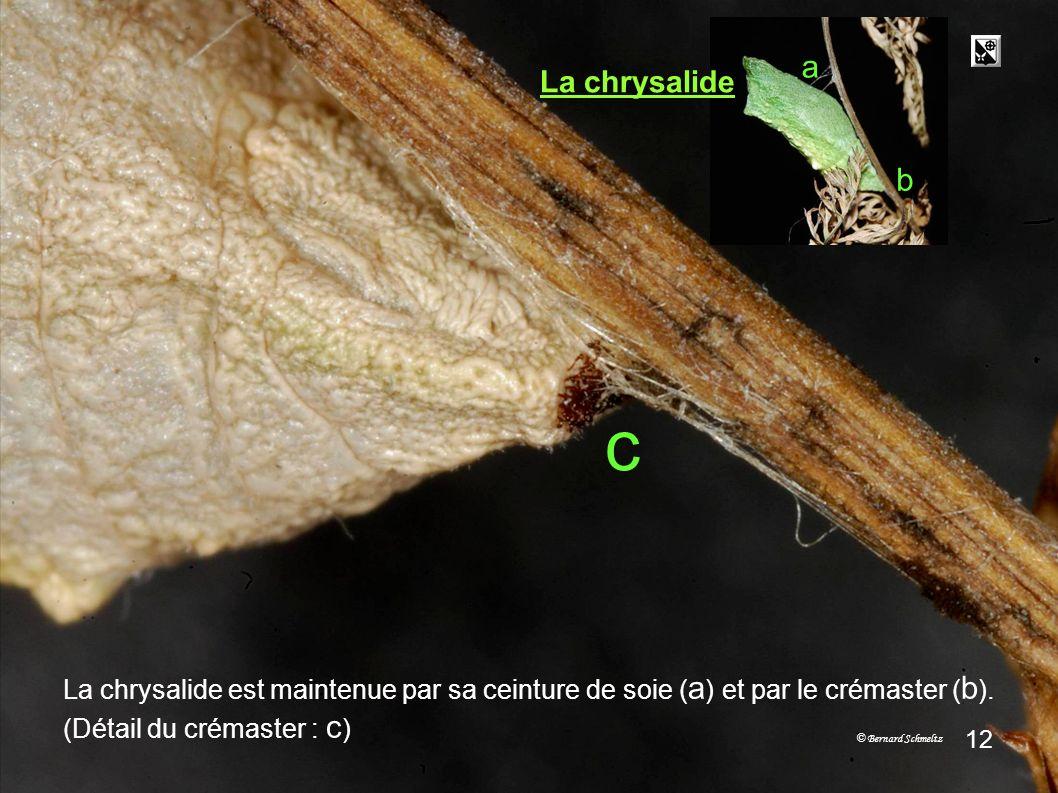 Trois étatsMétamorphose 29.06 01.07 04.0705.0706.07 3 stades De lœuf à la chrysalide Lœuf 11 La chenille grandit et se transforme en chrysalide après