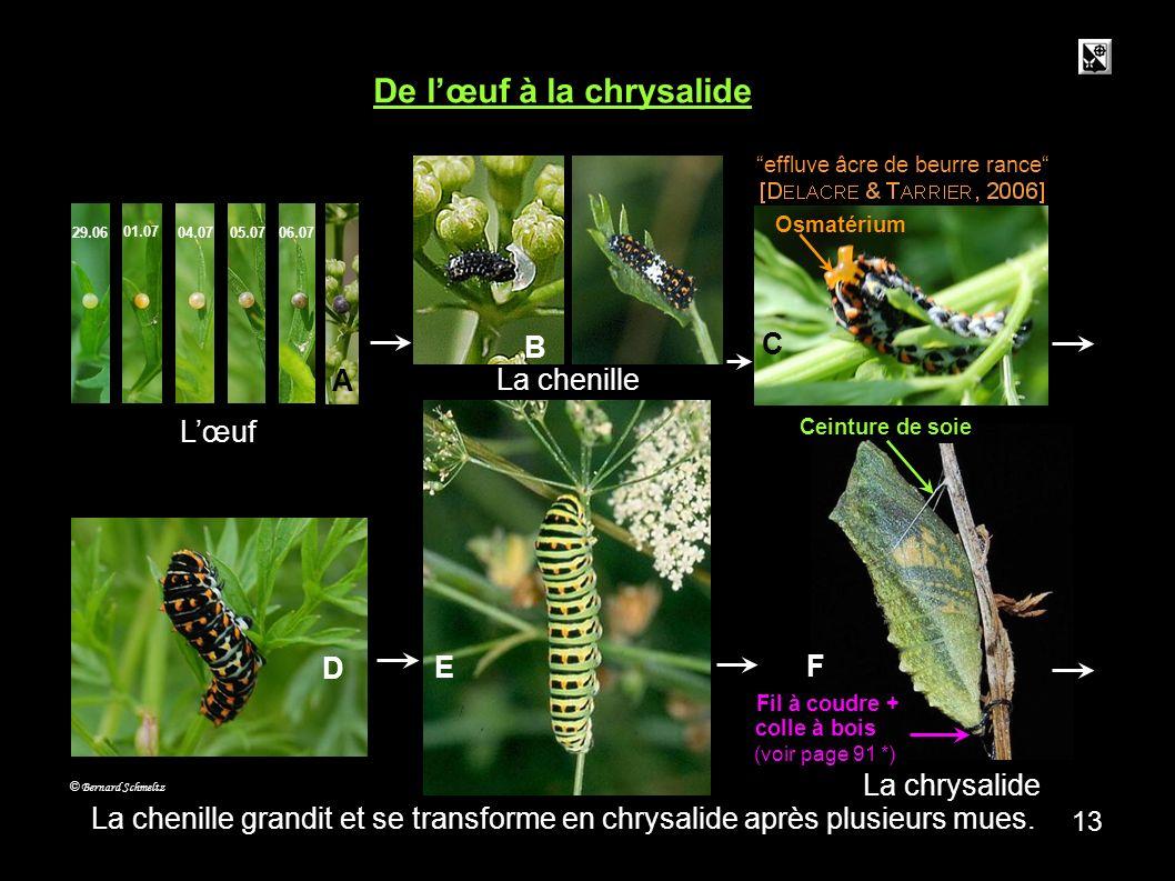 crémaster 12 La chrysalide est maintenue par sa ceinture de soie ( a ) et par le crémaster ( b ). (Détail du crémaster : c ) c © Bernard Schmeltz a b