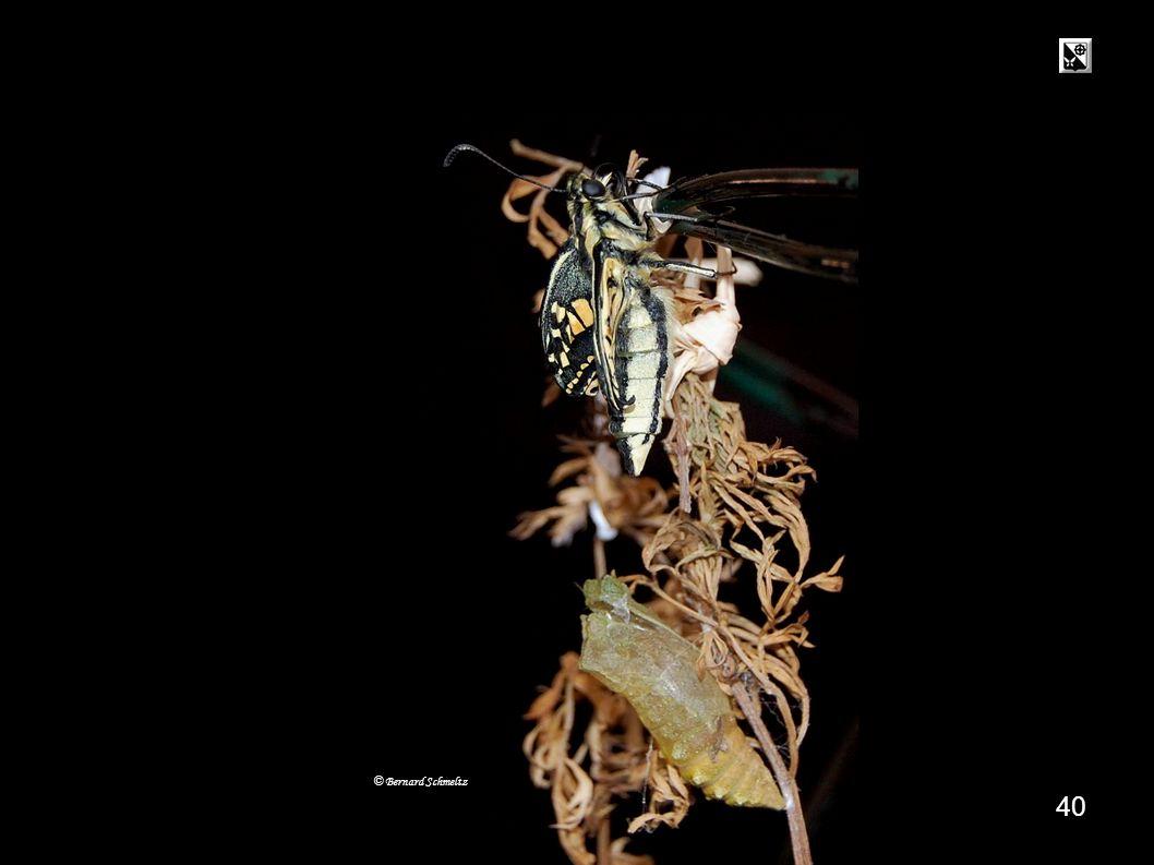 39 Déploiement des ailes (dun deuxième papillon) 14 h 00 Déploiement des ailes © Bernard Schmeltz