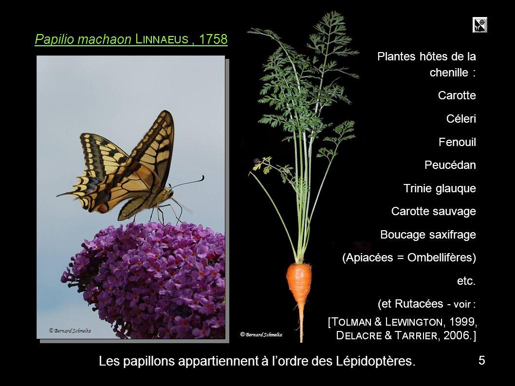 méta carotte Papilio machaon, 1758 Plantes hôtes de la chenille : Carotte Céleri Fenouil Peucédan Trinie glauque Carotte sauvage Boucage saxifrage (Apiacées = Ombellifères) etc.
