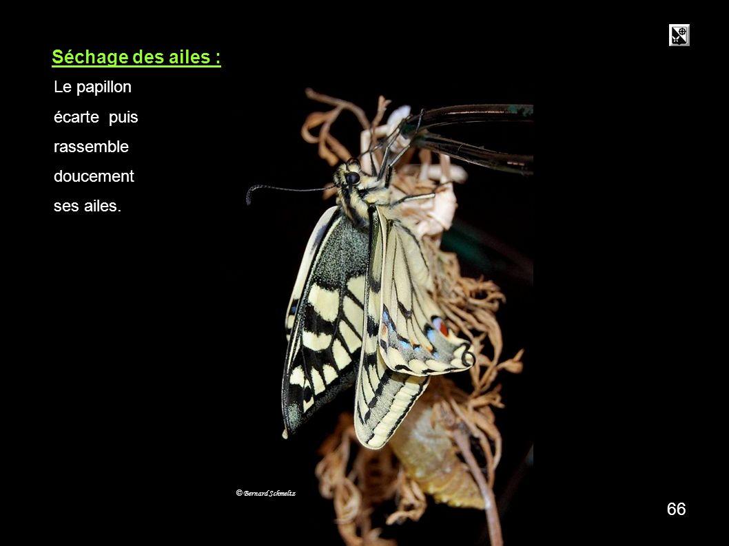 65 Séchage des ailes : © Bernard Schmeltz Le papillon écarte puis rassemble doucement ses ailes.