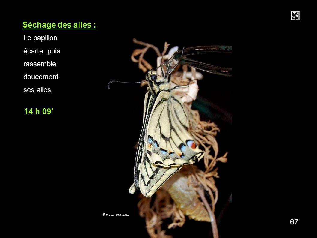 66 Séchage des ailes : © Bernard Schmeltz Le papillon écarte puis rassemble doucement ses ailes.