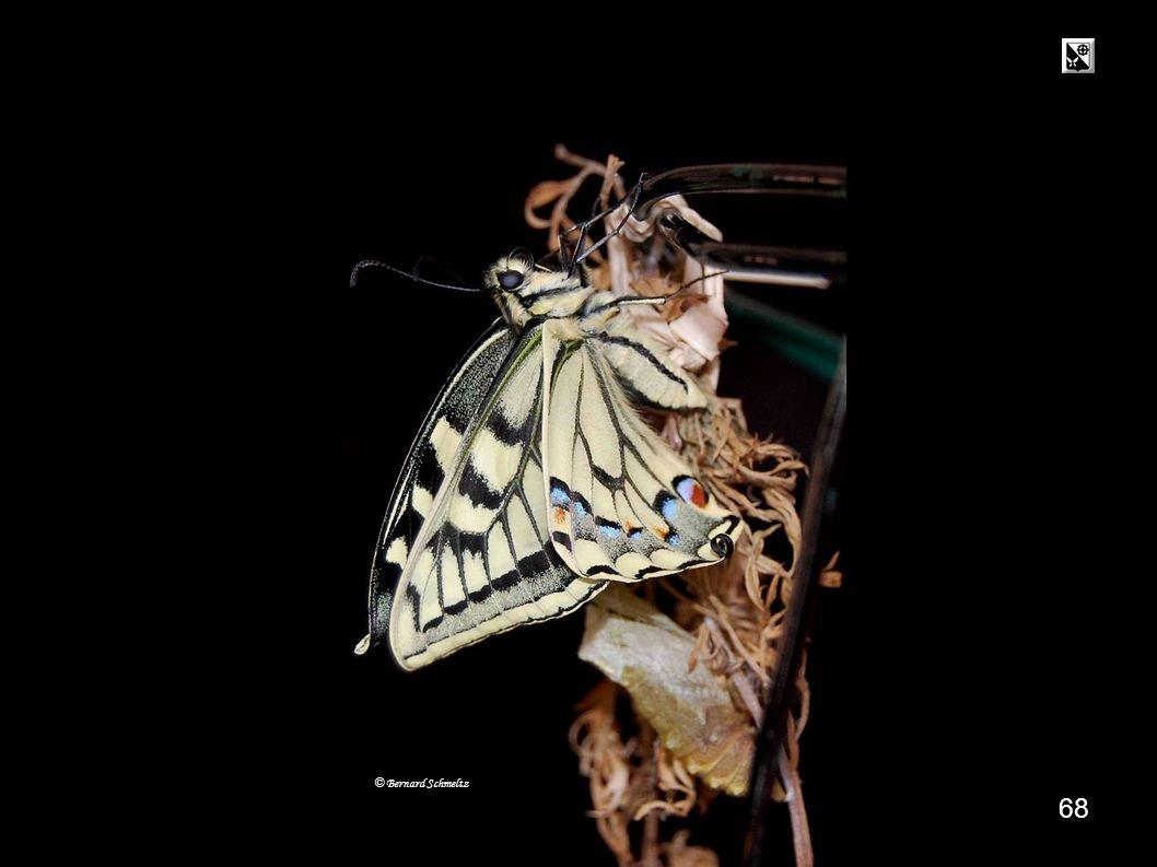 67 14 h 09 9 mn © Bernard Schmeltz Séchage des ailes : Le papillon écarte puis rassemble doucement ses ailes.