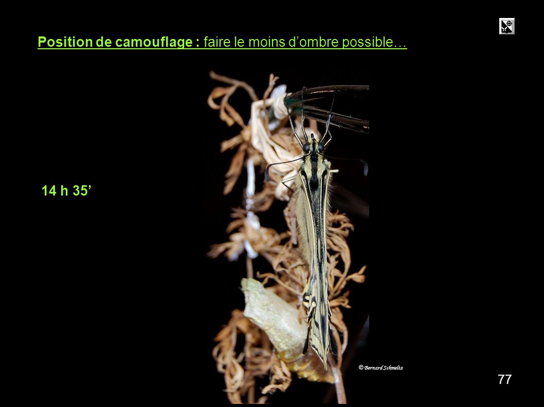 76 14 h 20 5,5 cm 20 mn 5,5 cm © Bernard Schmeltz Le papillon doit pouvoir se percher suffisamment haut de façon à bien pouvoir gonfler et développer