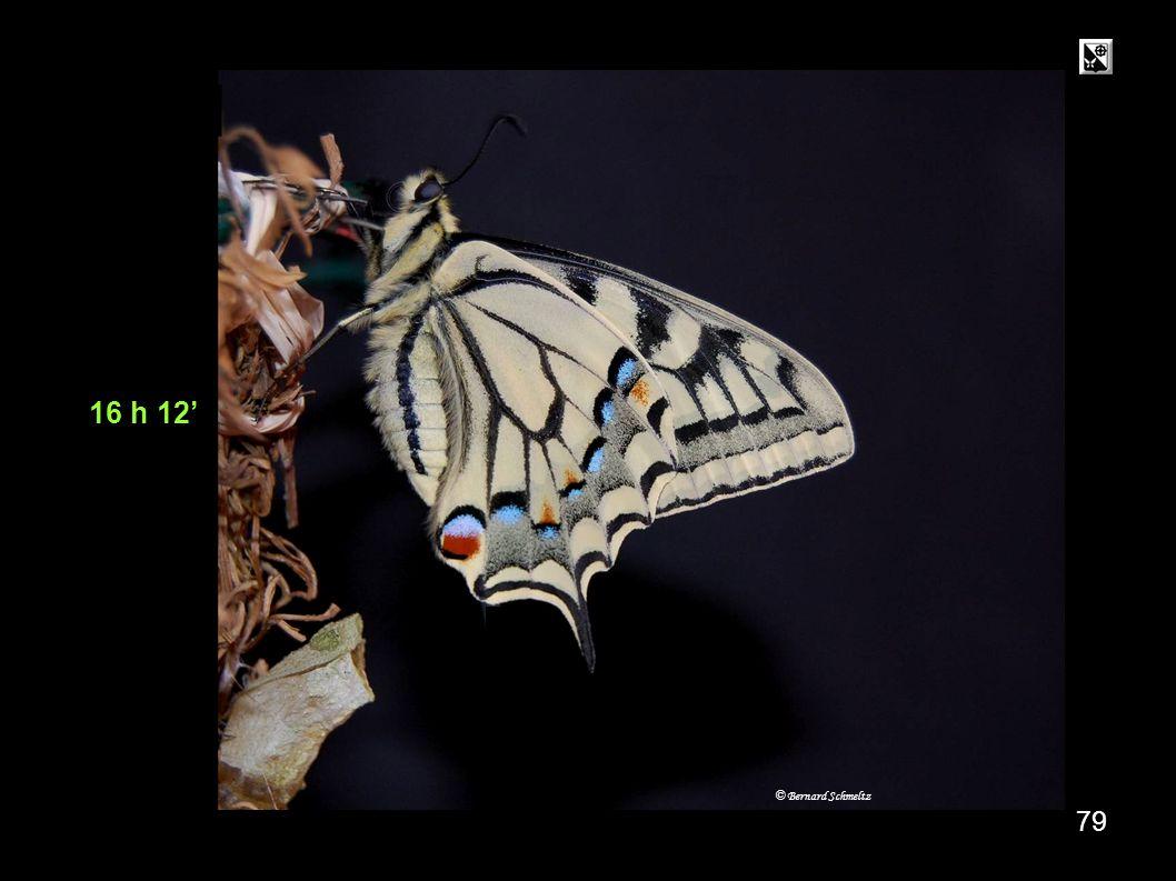 15 h 31 78 méconium Ouverture brusque des ailes : pour effrayer un prédateur. © Bernard Schmeltz