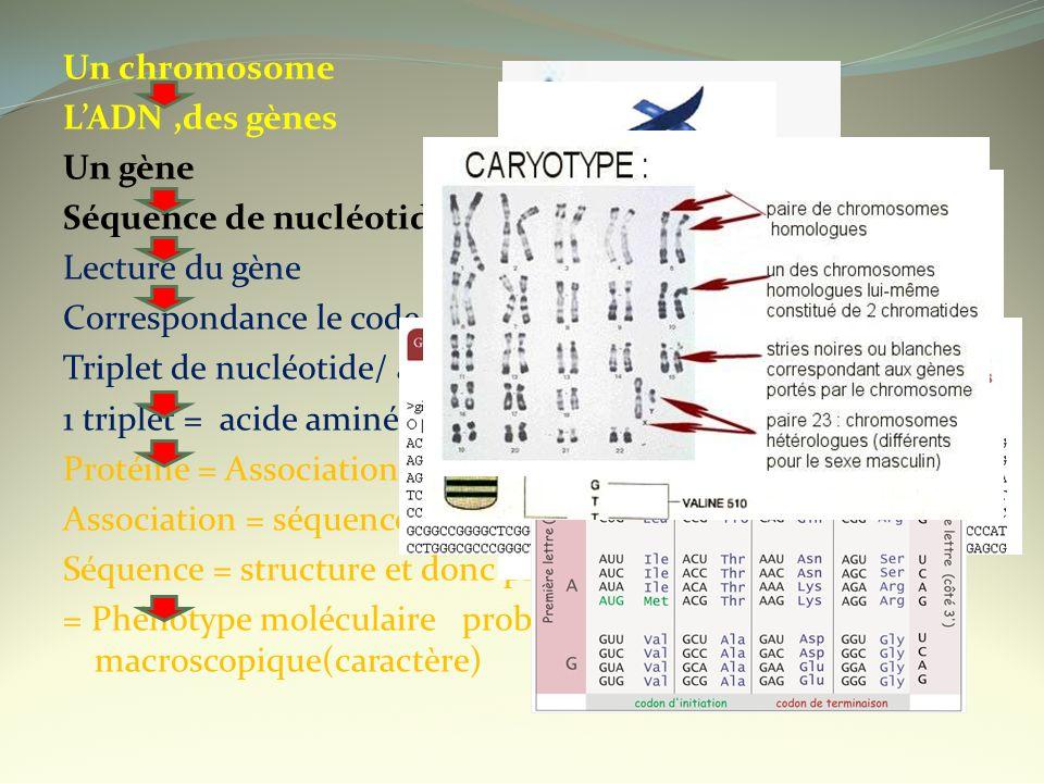 Un chromosome LADN,des gènes Un gène Séquence de nucléotides Lecture du gène Correspondance le code génétique Triplet de nucléotide/ acide aminé 1 tri
