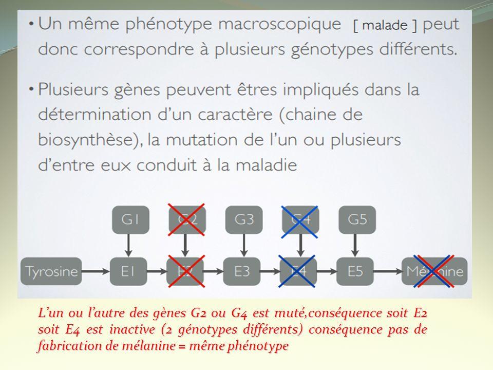 Lun ou lautre des gènes G2 ou G4 est muté,conséquence soit E2 soit E4 est inactive (2 génotypes différents) conséquence pas de fabrication de mélanine
