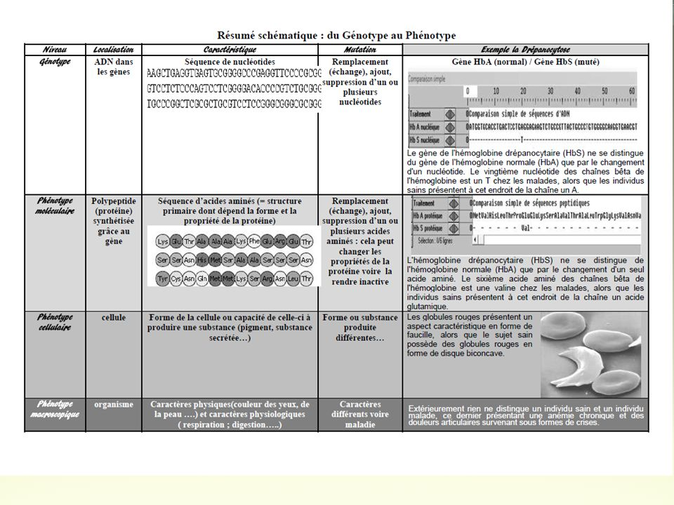 La relation entre ADN et protéines Linformation génétique se trouve dans le noyau, portée par les chromosomes et contenue dans la molécule dADN.