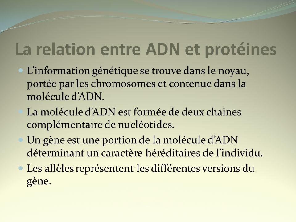 La relation entre ADN et protéines Linformation génétique se trouve dans le noyau, portée par les chromosomes et contenue dans la molécule dADN. La mo