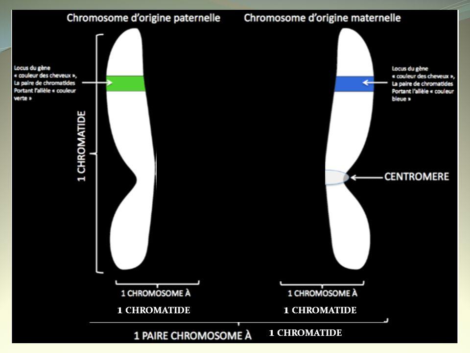 Les gènes sont des segments de la molécule dADN codants pour des protéines.