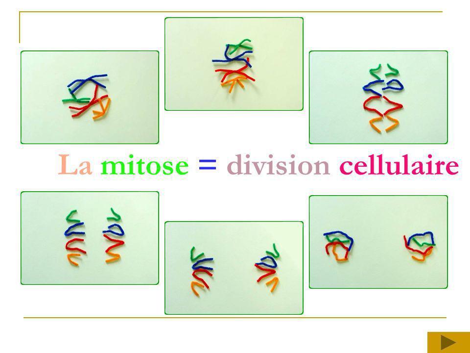 La mitose = division cellulaire