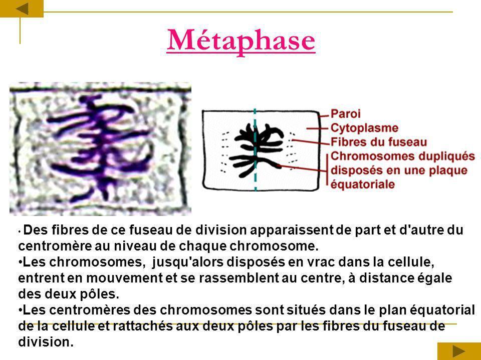 Des fibres de ce fuseau de division apparaissent de part et d'autre du centromère au niveau de chaque chromosome. Les chromosomes, jusqu'alors disposé