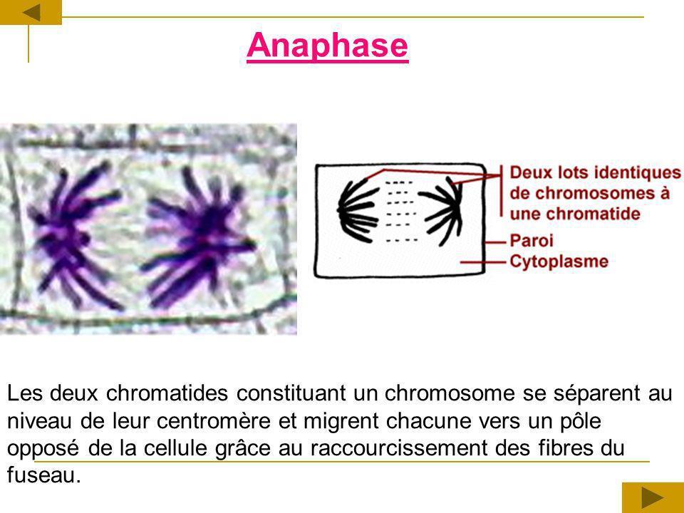 Les deux chromatides constituant un chromosome se séparent au niveau de leur centromère et migrent chacune vers un pôle opposé de la cellule grâce au raccourcissement des fibres du fuseau.