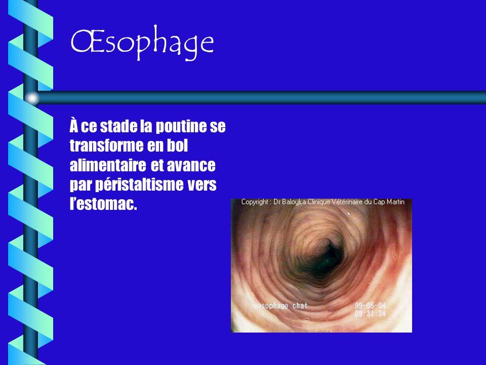 Œsophage À ce stade la poutine se transforme en bol alimentaire et avance par péristaltisme vers lestomac.