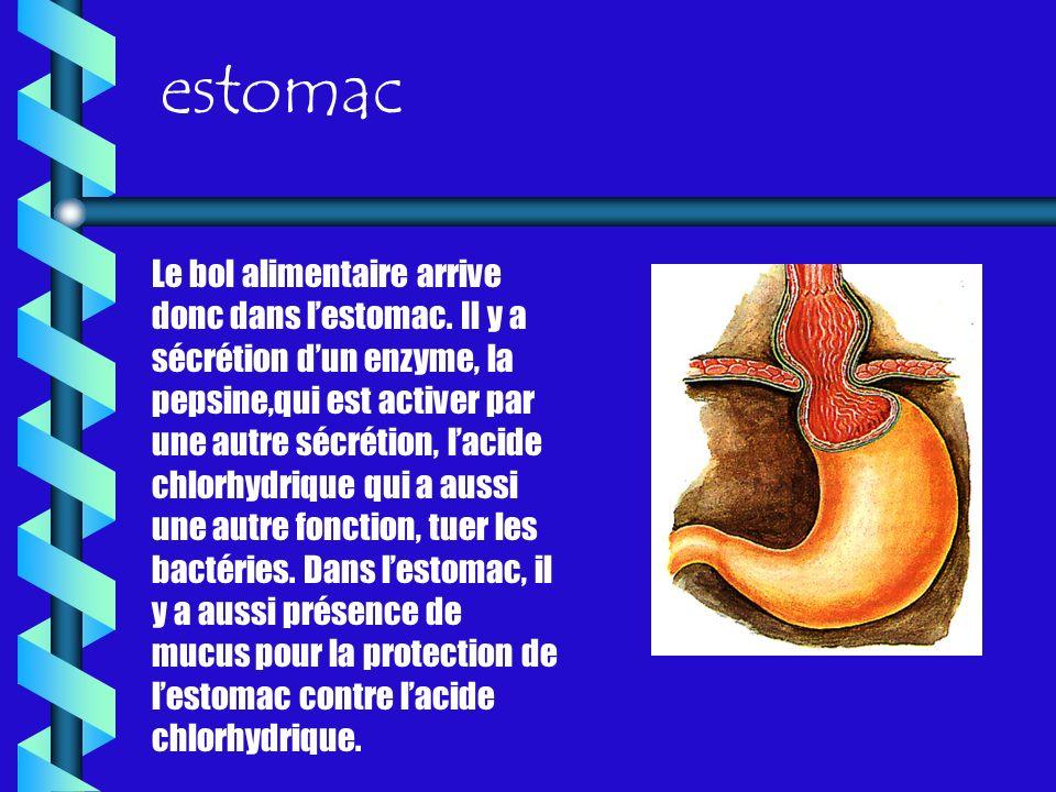 estomac Le bol alimentaire arrive donc dans lestomac. Il y a sécrétion dun enzyme, la pepsine,qui est activer par une autre sécrétion, lacide chlorhyd