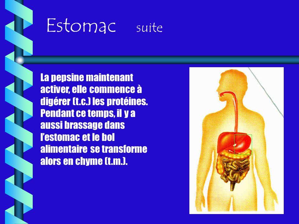 Estomac suite La pepsine maintenant activer, elle commence à digérer (t.c.) les protéines. Pendant ce temps, il y a aussi brassage dans lestomac et le