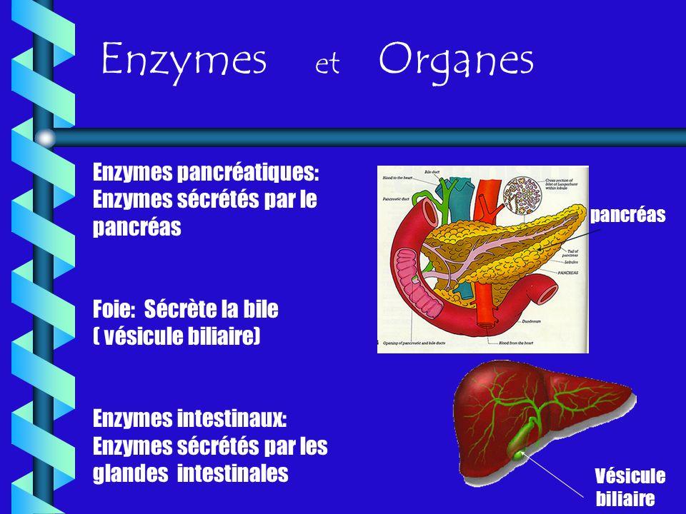 Enzymes et Organes Enzymes pancréatiques: Enzymes sécrétés par le pancréas Foie: Sécrète la bile ( vésicule biliaire) Enzymes intestinaux: Enzymes séc