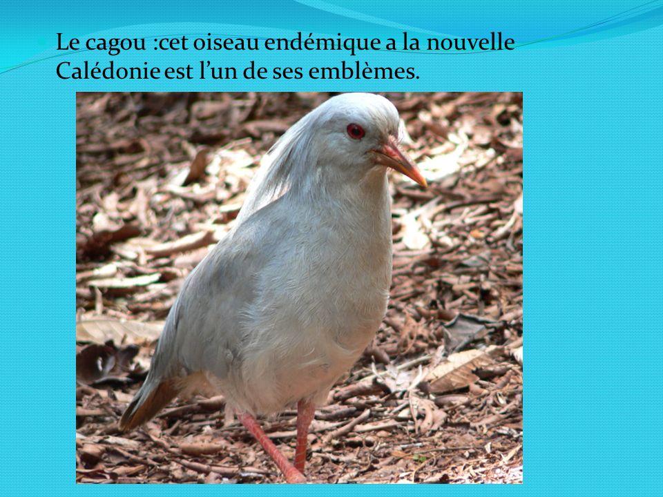 Le cagou :cet oiseau endémique a la nouvelle Calédonie est lun de ses emblèmes.