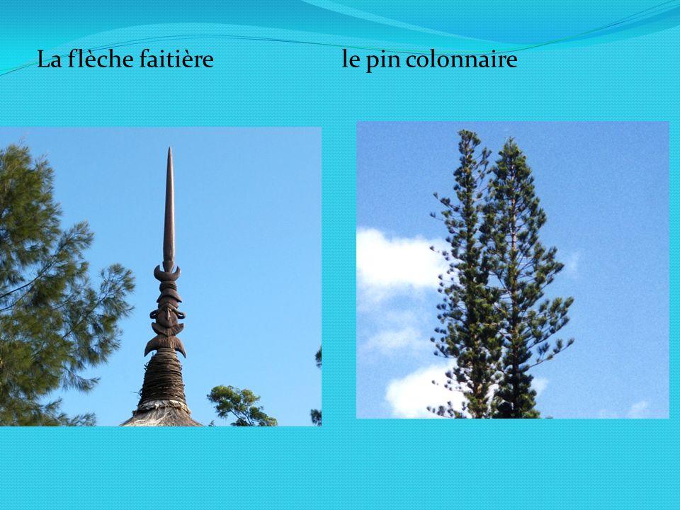 La flèche faitière le pin colonnaire