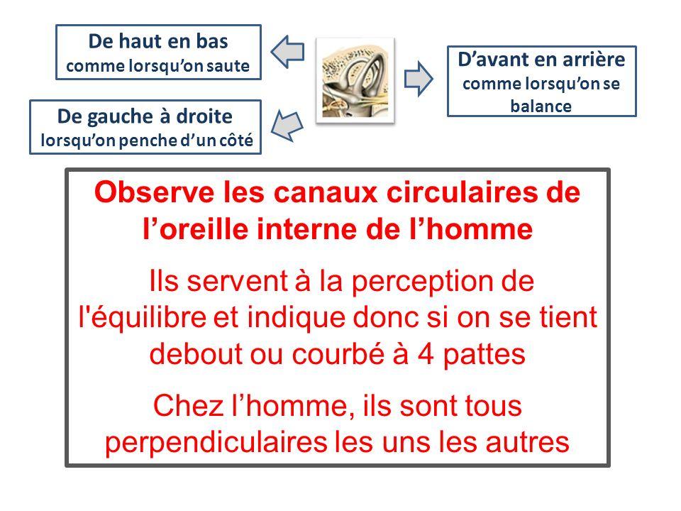 Observe les canaux circulaires de loreille interne de lhomme Ils servent à la perception de l'équilibre et indique donc si on se tient debout ou courb