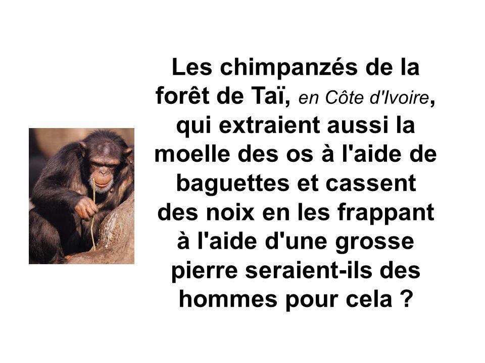Les chimpanzés de la forêt de Taï, en Côte d'Ivoire, qui extraient aussi la moelle des os à l'aide de baguettes et cassent des noix en les frappant à