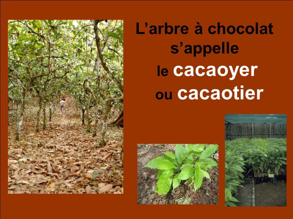 Larbre à chocolat sappelle le cacaoyer ou cacaotier