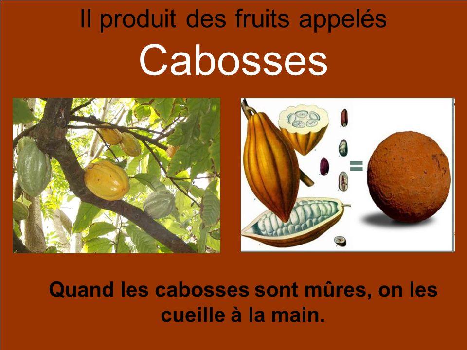 Il produit des fruits appelés Cabosses Quand les cabosses sont mûres, on les cueille à la main.