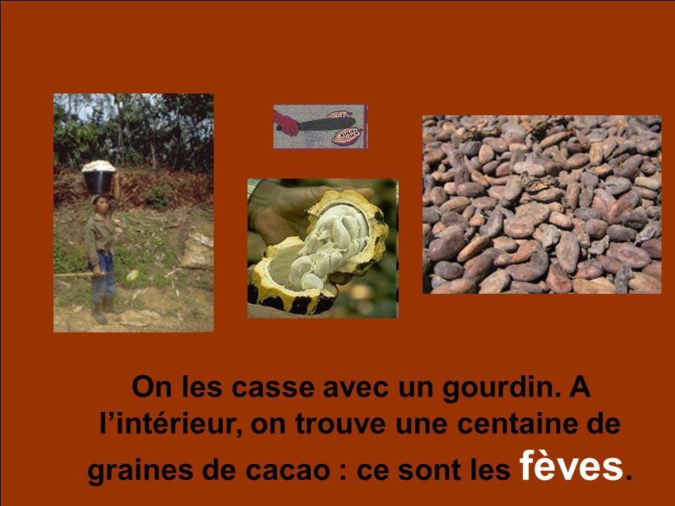 On les casse avec un gourdin. A lintérieur, on trouve une centaine de graines de cacao : ce sont les fèves.