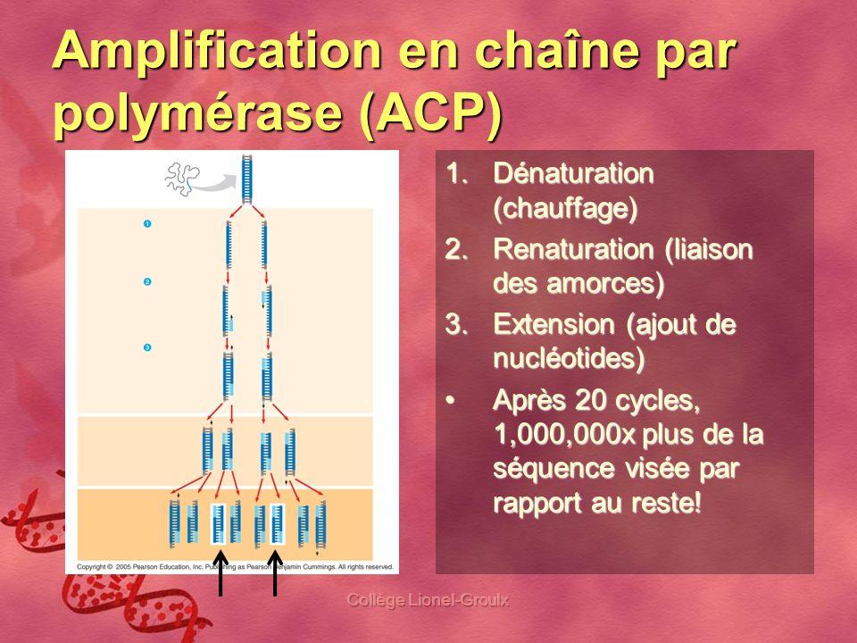 Amplification en chaîne par polymérase (ACP) 1.Dénaturation (chauffage) 2.Renaturation (liaison des amorces) 3.Extension (ajout de nucléotides) Après