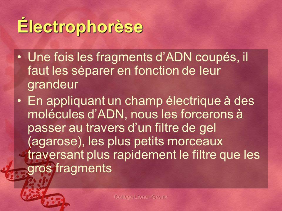 Collège Lionel-Groulx Électrophorèse Une fois les fragments dADN coupés, il faut les séparer en fonction de leur grandeur En appliquant un champ élect