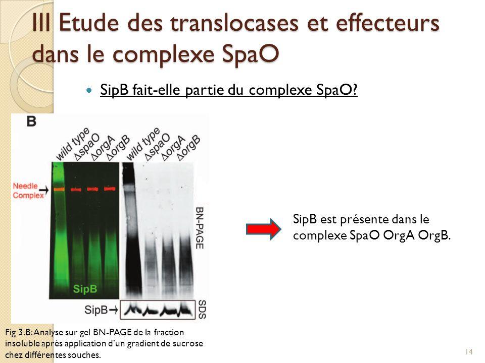 III Etude des translocases et effecteurs dans le complexe SpaO SipB fait-elle partie du complexe SpaO? Fig 3.B: Analyse sur gel BN-PAGE de la fraction