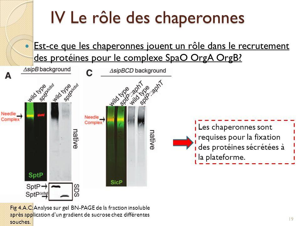Fig 4.A.C: Analyse sur gel BN-PAGE de la fraction insoluble après application dun gradient de sucrose chez différentes souches. IV Le rôle des chapero