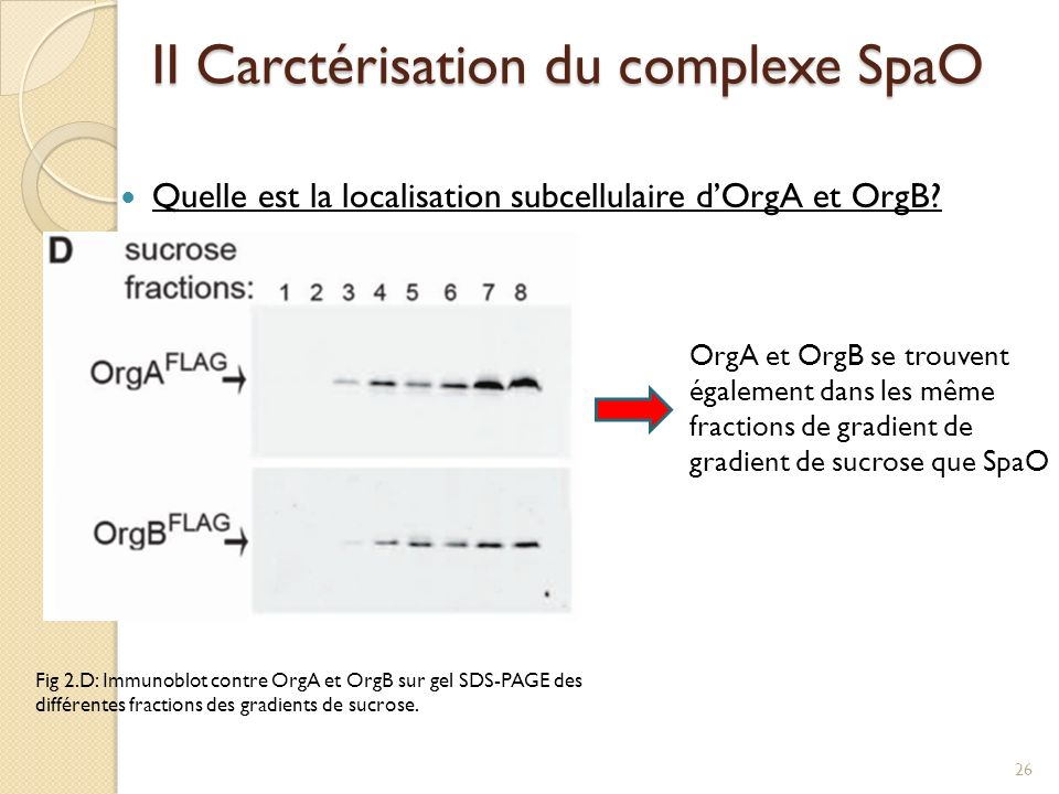II Carctérisation du complexe SpaO Quelle est la localisation subcellulaire dOrgA et OrgB? OrgA et OrgB se trouvent également dans les même fractions