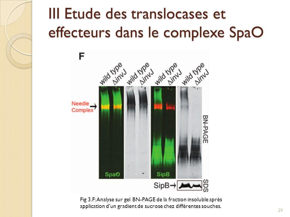 III Etude des translocases et effecteurs dans le complexe SpaO Fig 3.F: Analyse sur gel BN-PAGE de la fraction insoluble après application dun gradien