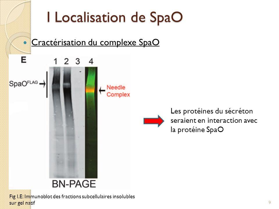 I Localisation de SpaO Cractérisation du complexe SpaO Fig I.E: Immunoblot des fractions subcellulaires insolubles sur gel natif Les protéines du sécr