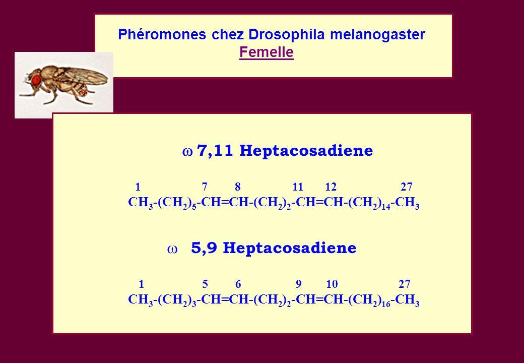 Phéromones chez Drosophila melanogaster Femelle 7,11 Heptacosadiene 1 7 8 11 12 27 CH 3 -(CH 2 ) 5 -CH=CH-(CH 2 ) 2 -CH=CH-(CH 2 ) 14 -CH 3 5,9 Heptacosadiene 1 5 6 9 10 27 CH 3 -(CH 2 ) 3 -CH=CH-(CH 2 ) 2 -CH=CH-(CH 2 ) 16 -CH 3