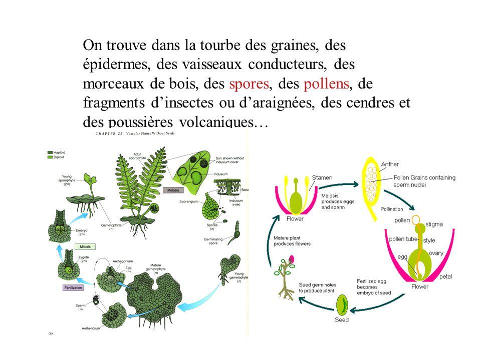 On trouve dans la tourbe des graines, des épidermes, des vaisseaux conducteurs, des morceaux de bois, des spores, des pollens, de fragments dinsectes
