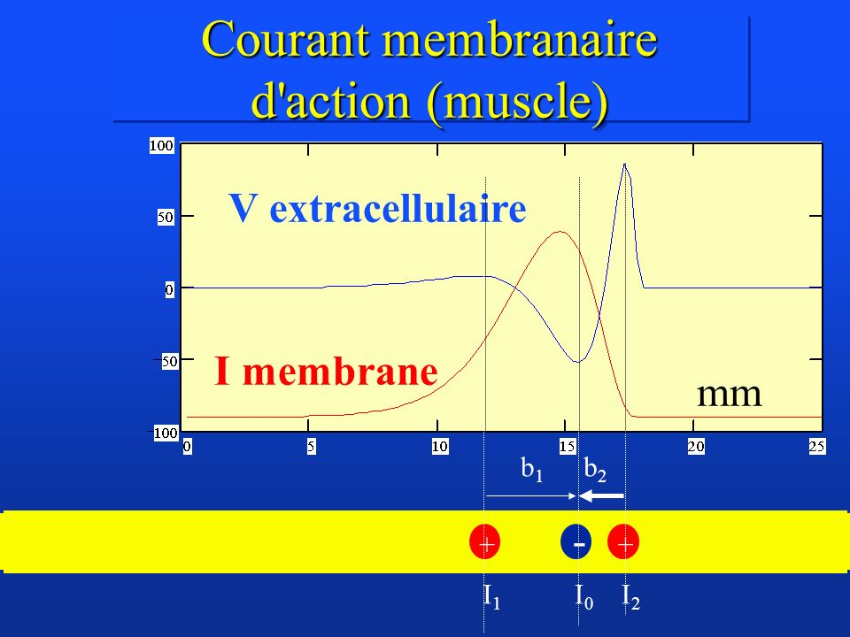 Courant membranaire d'action (muscle) mm + - + I0I0 I2I2 I1I1 b1b1 b2b2 V extracellulaire I membrane