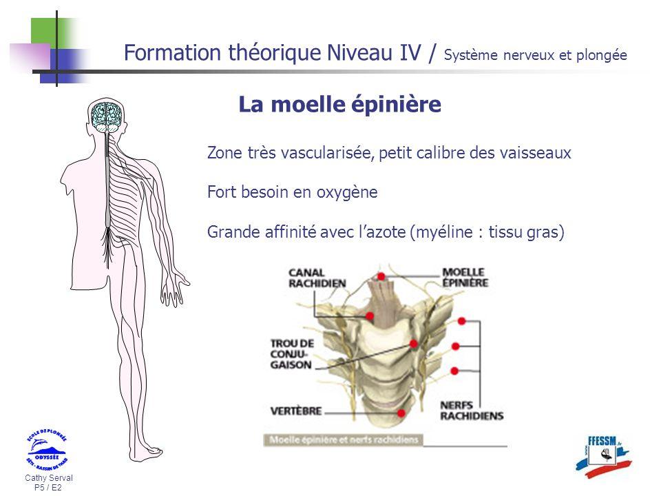 Cathy Serval P5 / E2 Formation théorique Niveau IV / Système nerveux et plongée Zone très vascularisée, petit calibre des vaisseaux Fort besoin en oxy