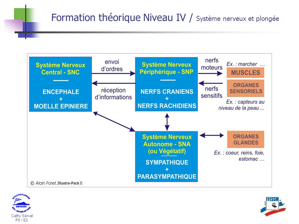 Cathy Serval P5 / E2 Formation théorique Niveau IV / Système nerveux et plongée