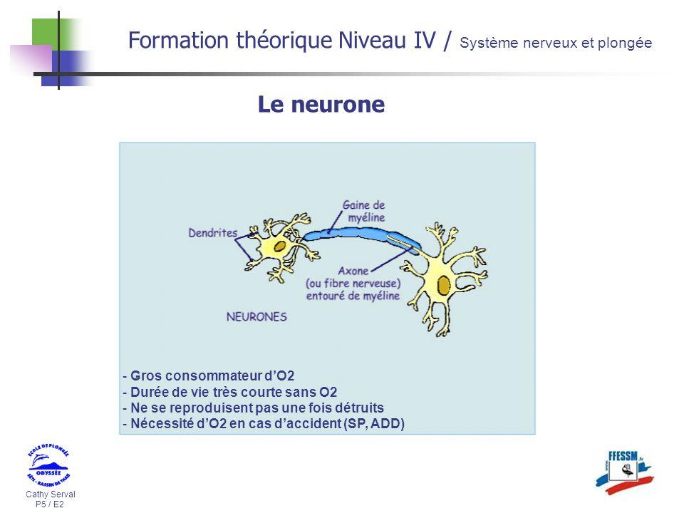 Cathy Serval P5 / E2 Formation théorique Niveau IV / Système nerveux et plongée - Gros consommateur dO2 - Durée de vie très courte sans O2 - Ne se rep