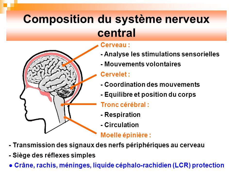 Composition du système nerveux central Cerveau : - Analyse les stimulations sensorielles - Mouvements volontaires Cervelet : - Coordination des mouvements - Equilibre et position du corps Tronc cérébral : - Respiration - Circulation Moelle épinière : - Transmission des signaux des nerfs périphériques au cerveau - Siège des réflexes simples Crâne, rachis, méninges, liquide céphalo-rachidien (LCR) protection