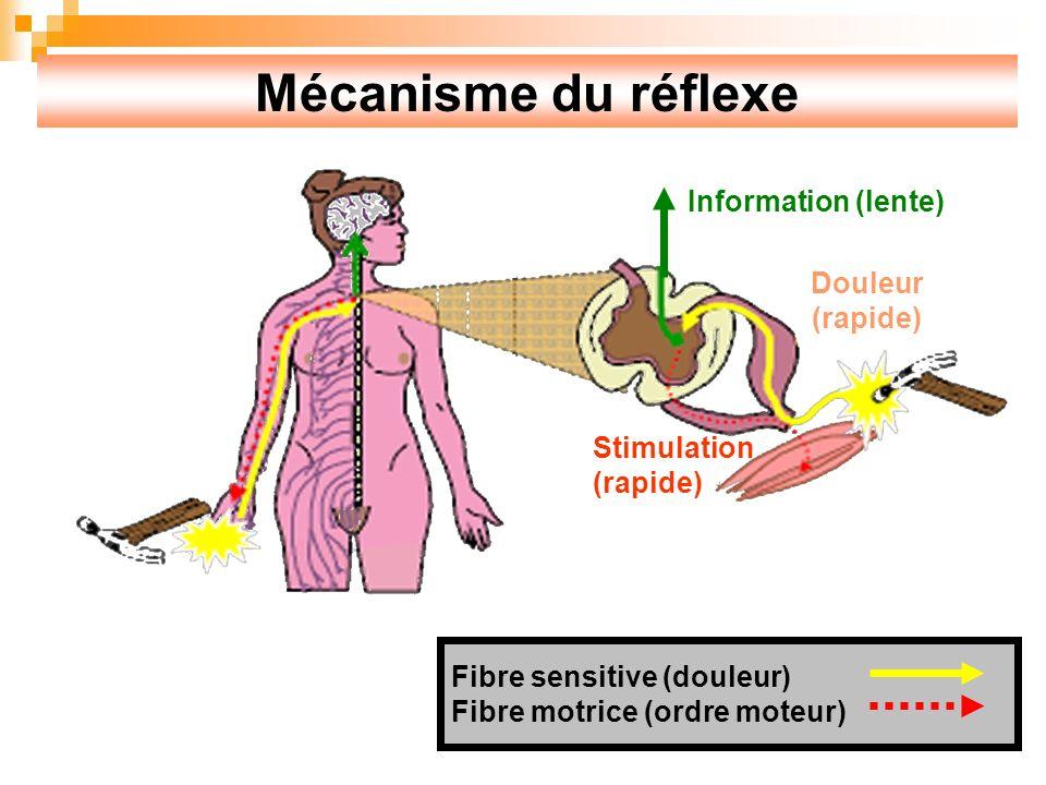 Mécanisme du réflexe Fibre sensitive (douleur) Fibre motrice (ordre moteur) Information (lente) Douleur (rapide) Stimulation (rapide)